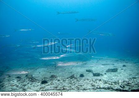School Of Blackfin Barracuda (sphyraena Qenie) In The Temple Dive Spot, Marianne Island, Seychelles