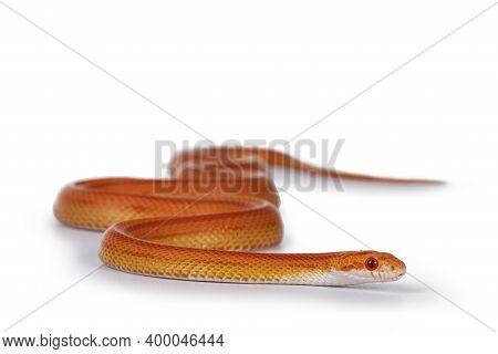 Juvinile Amel Motley Striped Cornsnake Aka Elaphe Guttataon Snake. Isolated On White Background.