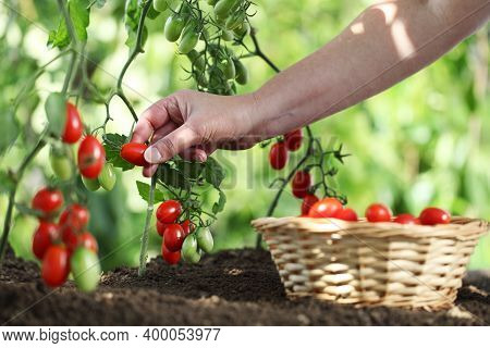 Work In Vegetable Garden Hand Picking Fresh Tomatoes Cherry From Plants With Full Wicker Basket On S