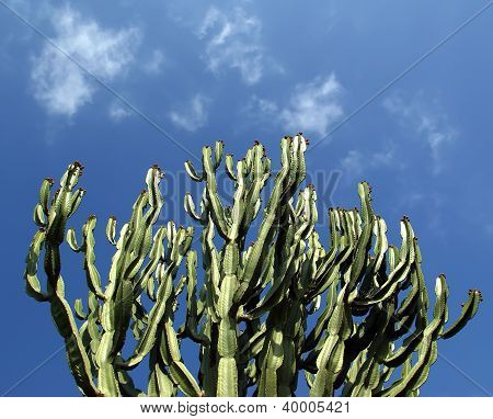 Cactuses Closeup In Natural Conditions, On Clear Sky Background
