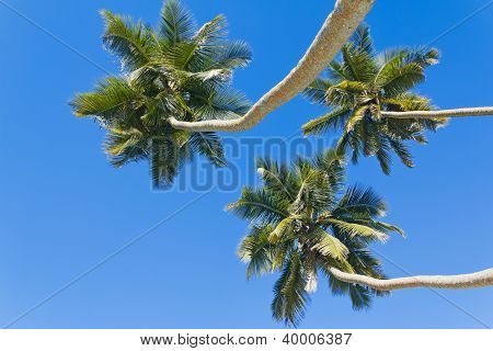 Three Palm Trees Against The Blue Sky.