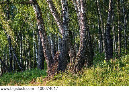 Dense Birch Forest On A Summer Day