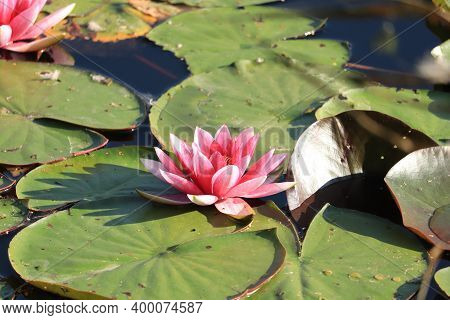 Pink Water Lily Floating In A Sunlit Pond