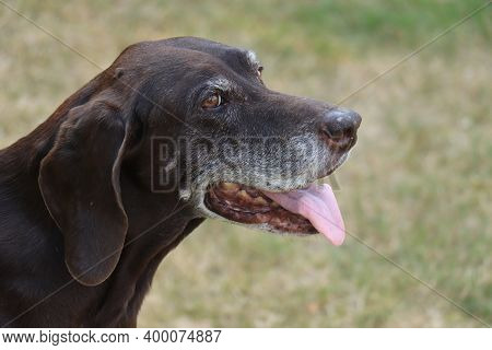 German Shorthaired Pointer, 15 Year Old Senior Female Dog