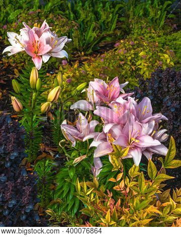 Pink Lily  Summer Flowers Pink Lily Flowering In A Flowerbed In A Country Garden Blossom Close-upon
