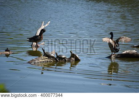 Mallard Ducks And A Group Of Turtles Sitting Together, Sunny Themselves On A Log, Tree Stump In A La
