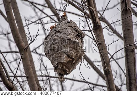 Wasp Nest Made By Wasps Hanging From A Tree In The Garden, Close-up Of A Hive Of Wild Wasp Insects
