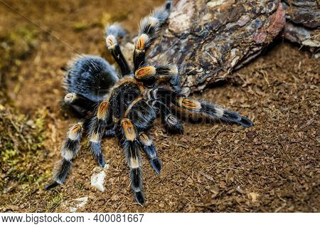 A Huge Spider,red-legged Costa Rican Tarantula (the Biggest Tarantula In The World). Largest Spider