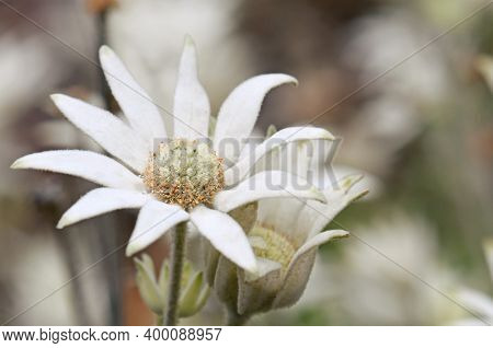 Close Up Of An Australian Native Flannel Flower, Actinotus Helianthi, Family Apiaceae, Growing In Wo