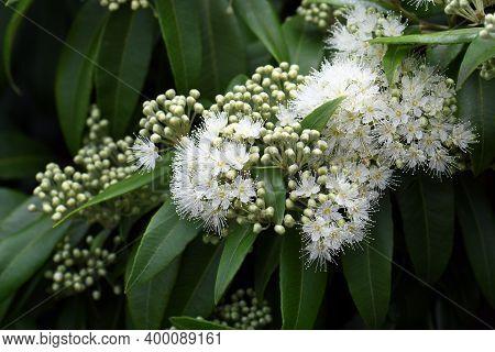 White Flowers And Buds Of The Australian Native Lemon Myrtle, Backhousia Citriodora, Family Myrtacea