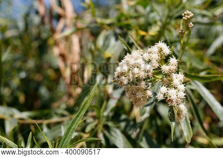 White Staminate Discoid Head Inflorescences Bloom On Seepwillow, Baccharis Salicifolia, Asteraceae,
