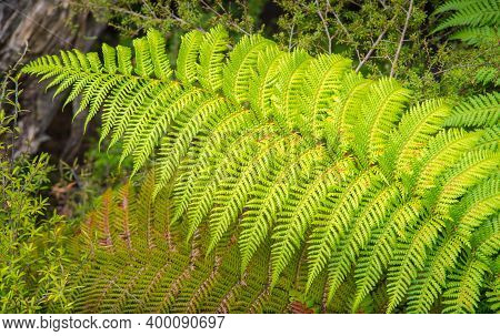 Close-up Of Fern Leaves In Native Bush Of Rotorua The Geothermal City In North Island Of New Zealand