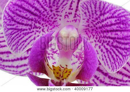 Purple Orchid