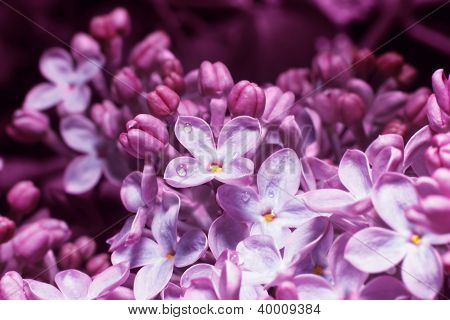 Lilac On Blur Background