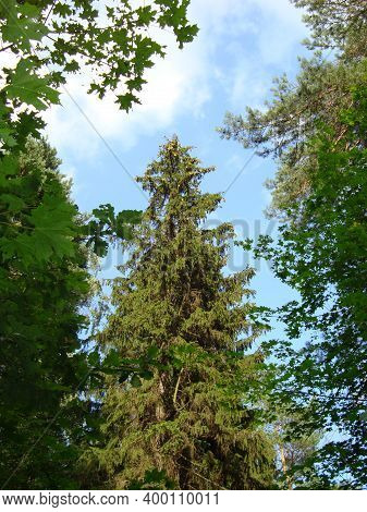 The Green Firs Fluffed Their Needles. Majestic Fir Trees In The Forest.
