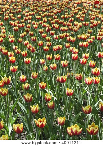 Yellow With Red Tulips