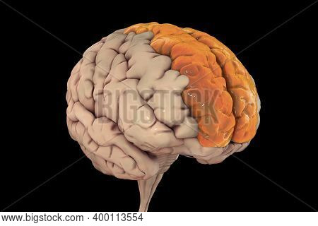 Human Brain With Highlighted Superior Frontal Gyrus, Also Marginal Gyrus, Front View, 3d Illustratio
