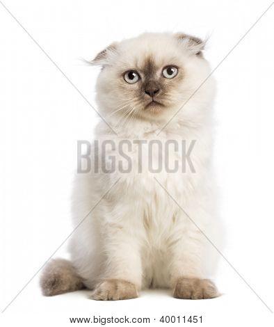 Highland fold kitten sitting against white background