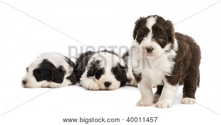 Bearded Collie puppy, 6 weeks old, standing and in the background others are sleeping against white background