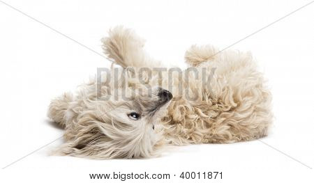 Crossbreed lying and rolling over against white background
