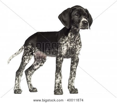 German Shorthaired Pointer, 10 weeks old, against white background