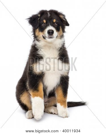 Australian Shepherd, 3 months old, sitting and looking at camera against white background