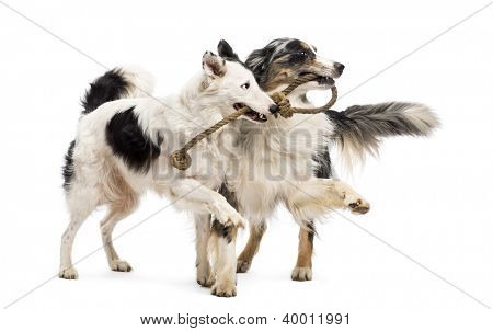 Border Collie and Australian Shepherd playing with a rope against white background