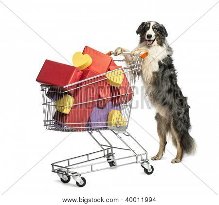 Australian Shepherd pushing a shopping cart full of presents against white background