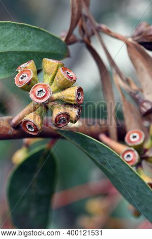 Red Gum Nuts And Blue Green Leaves Of The Rare Yellow Top Mallee Ash, Eucalyptus Luehmanniana, Famil