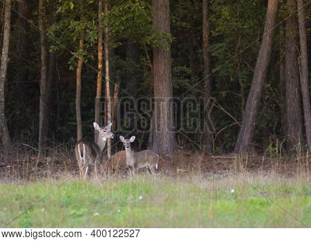 Three Whitetailed Deer Near A Line Of Trees In North Carolina