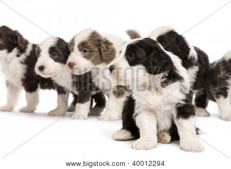 Bearded Collie puppies, 6 weeks old, sitting, standing and looking away. Focus on foreground against white background