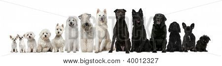 Group of black and white dogs sitting in a row against white background