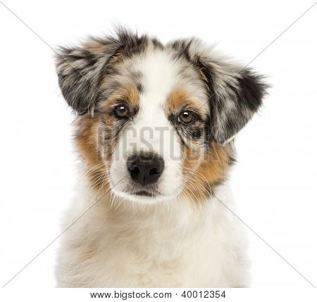 Close up of an Australian Shepherd puppy, 3 months old, looking at camera against white background