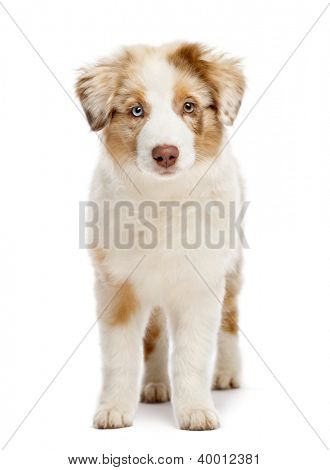 Australian Shepherd puppy, 3 months old, standing and looking at camera against white background