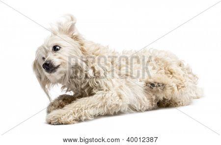 Crossbreed lying against white background