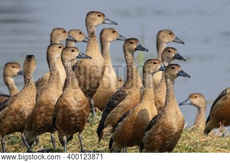 A Flock Of Wandering Whistling Ducks Also Known As Dendrocygna Arcuata Standing With Water In The Ba