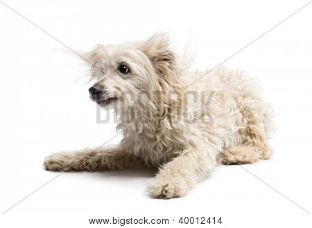 Crossbreed lying against white background