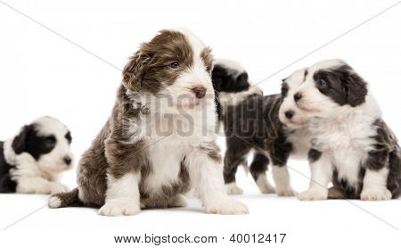 Bearded Collie puppies, 6 weeks old, sitting, lying and standing with focus on the one in the foreground against white background