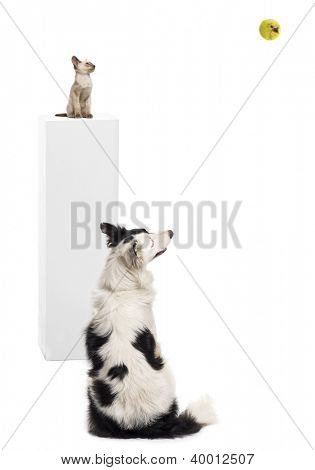 Border Collie sitting in front of a Oriental shorthair kitten sitting on a pedestal, watching a tennis ball against white background