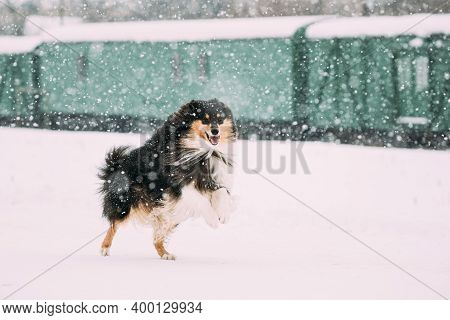 Funny Shetland Sheepdog, Sheltie, Collie Dog Playing And Fast Running Outdoor In Snow, Snowdrift. Wi