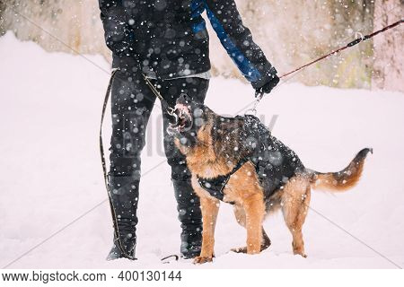 Training Of Purebred German Shepherd Young Dog Or Alsatian Wolf Dog. Attack And Defence. Winter Snow