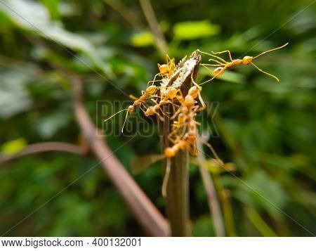 Red Ant Bridge Unity Team. Close Up Macro Of Ant Making Unity Bridge On Plant With Nature Forest Gre