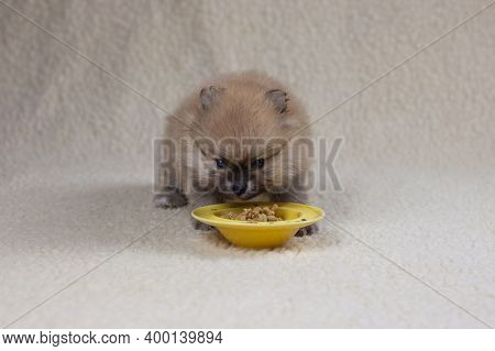 A Small Pomeranian Puppy Aged 1 Month Eats Its First Lure From A Yellow Saucer. The Concept Of Food