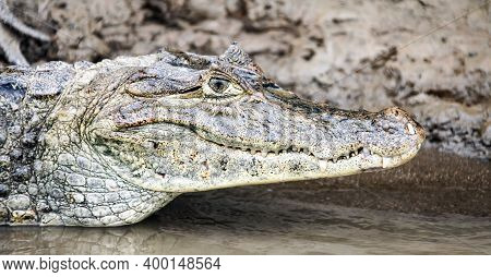 Head Of A Crocodile Lying On The Shore Close-up Side View. Cayman From Costa Rica Lies By The Water.