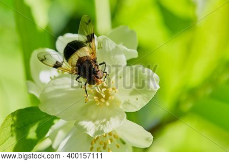 A Bee-like Babbling Fly Sits On A White Chubushnik Flower. Macro.