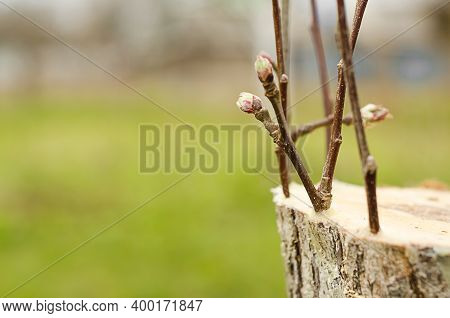 Live Cuttings At Grafting Apple Tree In Cleft With Growing Buds, Young Leaves On Spring Time. Copy S