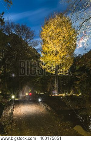 Autumn Night Lightup Of The Giant Yellow Ginkgo Biloba In The Forest Of The Rikugien Garden Of Tokyo