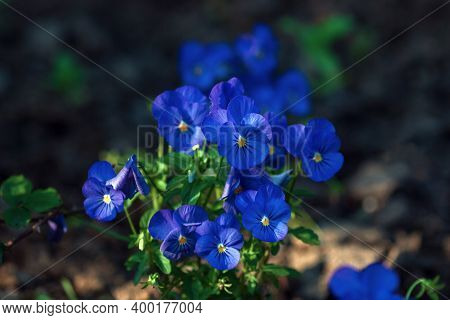 Small Blue Pansy Flowers Blooming (viola Cornuta Admire Clear Blue)