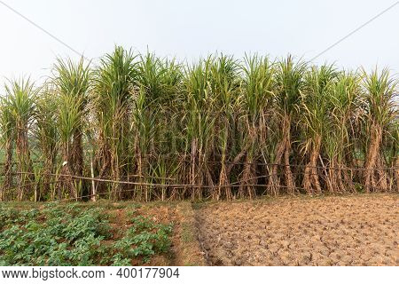 Picture Of Sugarcane Plant Growing Up In The Bosom Of Nature, Where Carefully Nurtured Sugarcane Pla