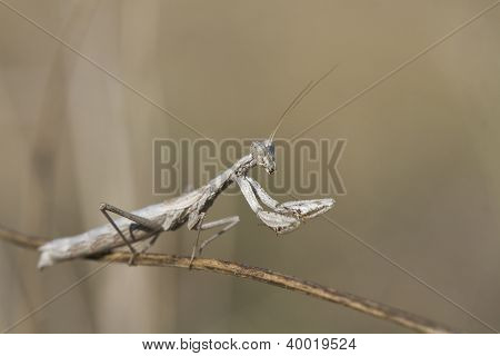 Mantis Sitting On A Branch.